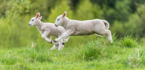 Preparing For Sheep Breeding