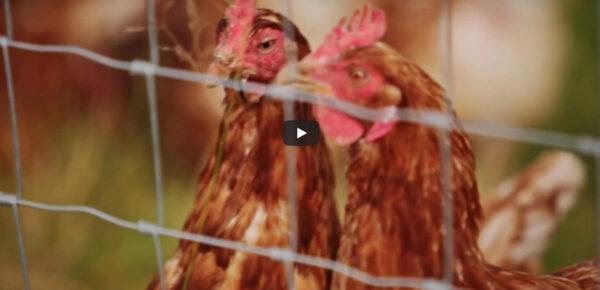 Clipex Chicken Farm