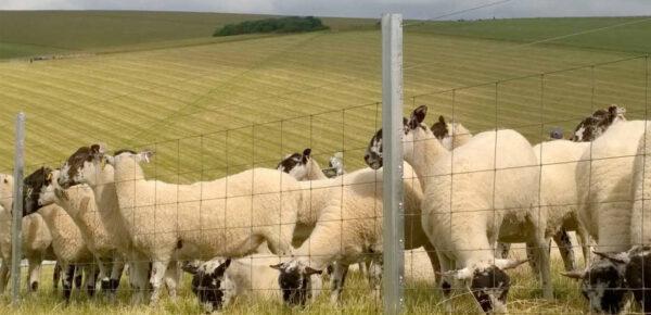Sheep Fence - Triple X
